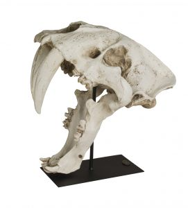Authentic Models Saber Tooth Cat Skull AR061 Säbelzahntiger